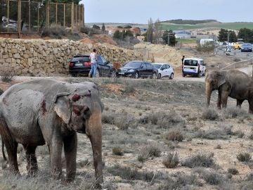Uno de los elefantes que resultó herido tras volcar el camión