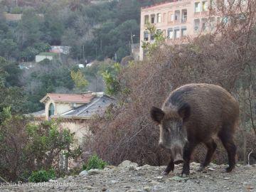 Los jabalies asaltan la ciudad a traves de zonas verdes en busca de comida para gatos