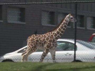Una cría de jirafa se escapa del zoológico en Indiana