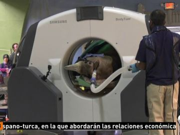 Realizan en Chicago el primer TAC a un rinoceronte