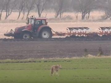 La loba que fue asesinada por un cazador en Dinamarca