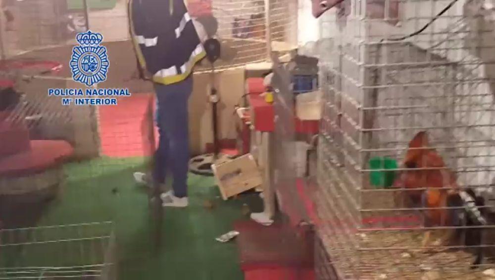 Una operación antidroga descubre un reñidero de gallos en La Línea