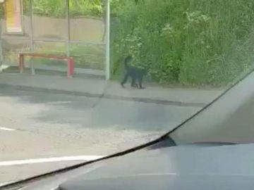 Un mono se escapa de un zoo de Belfast