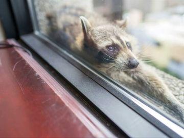 Un mapache, mantiene en vilo a miles de usuarios de las redes sociales al escalar un edificio de 25 plantas