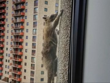 El mapache escalando el edificio