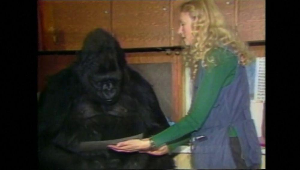 Muere Koko, la gorila que aprendió a usar la lengua de signos