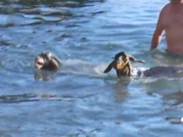 un millar de cabras se bañan en una playa de Tenerife para llevar a cabo el rito de la fertilidad