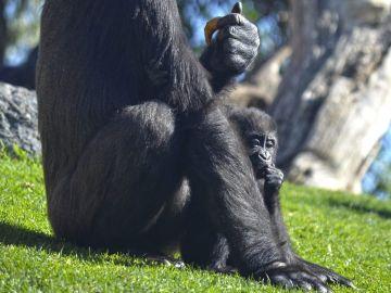 Mbeli, la bebé gorila fallecida