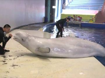 Dos ballenas belugas de un acuario de China entrenan para ser trasladadas a un santuario para cetáceos en Islandia
