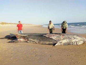 El cadáver del tiburón peregrino