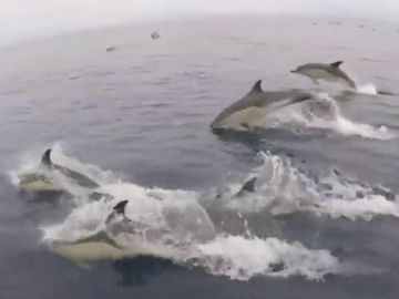 Avistados miles de delfines en las costas de Galicia