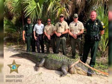 La policía de Florida logra atrapar a un caimán de 4 metros, el de mayor tamaño capturado en dos décadas en esa zona