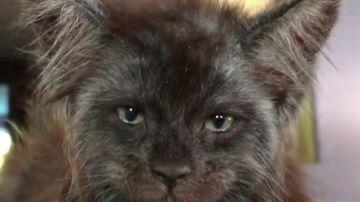 El gato ruso Valkyrie