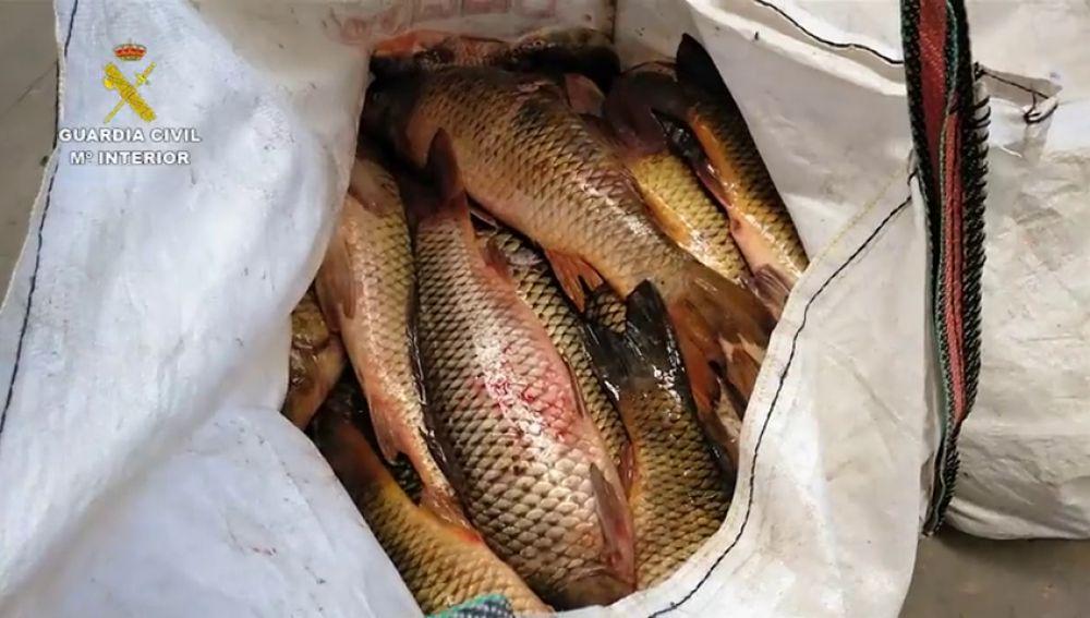 La Guardia Civil ha interceptado más de una tonelada de pescado capturado ilegalmente