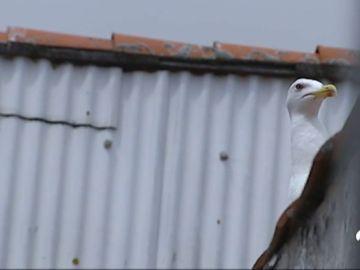 Una superpoblación gaviotas invade la costa gallega
