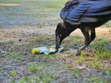 Un cuervo recogiendo basura del suelo