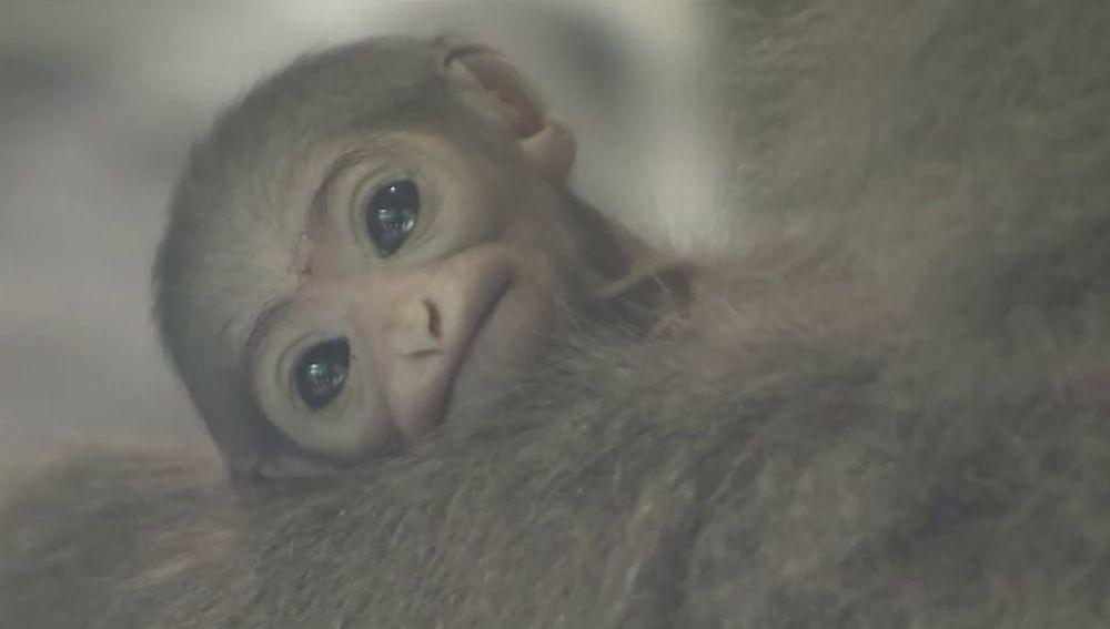 El zoo de Praga celebra el nacimiento de una cría de un gibón plateado