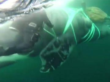 La Armada chilena rescata una ballena de 40 metros atrapada en una red de pesca