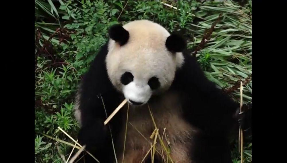 La situación de los osos panda como especie en peligro de extinción mejora en China