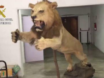 Decomisan un león africano disecado que se vendía por 6.000 euros en un portal de compraventa de segunda mano