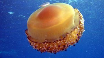 Medusa 'Huevo frito'