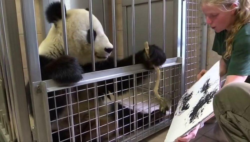 El zoológico de Viena atrae a los visitantes con una nueva atracción: un panda que pinta