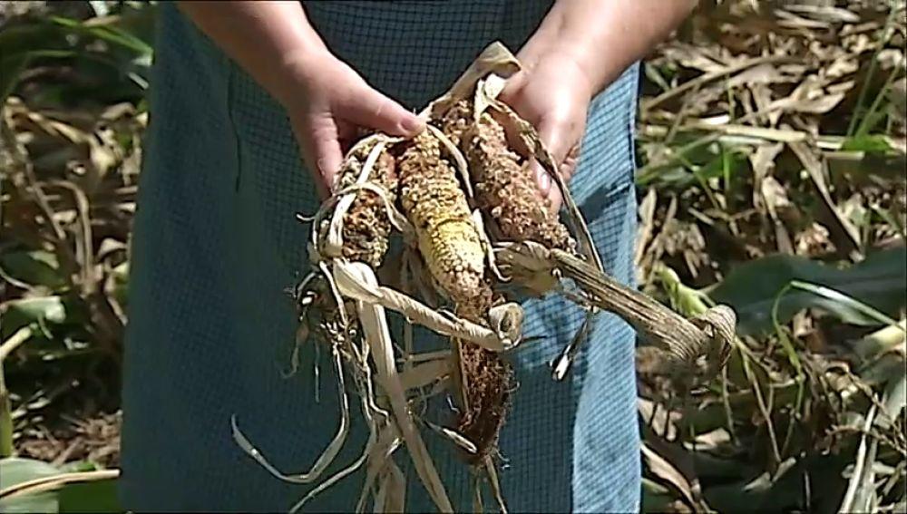 Agricultores gallegos denuncian la superpoblación de jabalíes que destroza sus cosechas