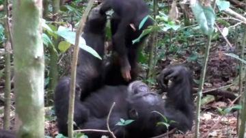 """Chimpancé jugando con su cría al """"avioncito"""""""