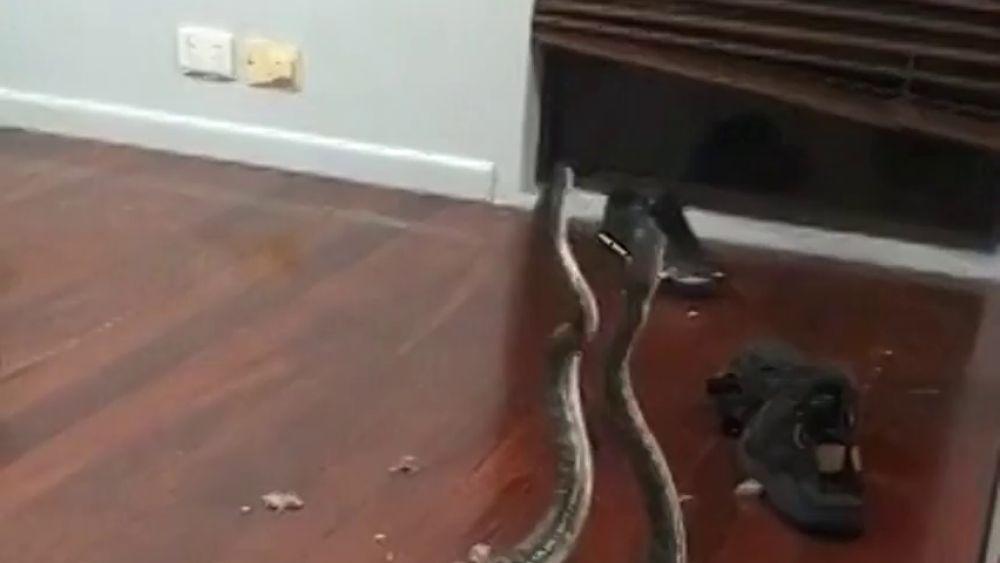 Dos serpientes en plena lucha caen del techo de una casa en Australia