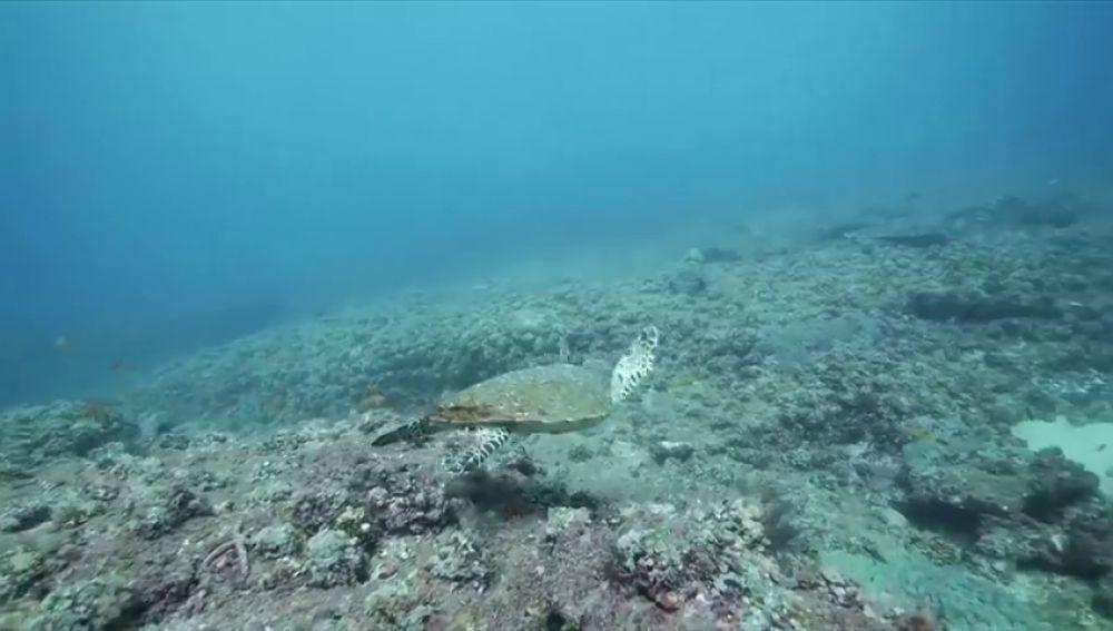 Aumenta el riesgo de muerte de las tortugas marinas bebés por ingerir plásticos en el mar