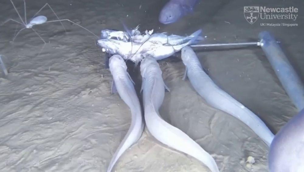 Descubren una nueva especie de pez que se derrite al llegar a la superficie