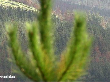 Las coníferas del País Vasco están en peligro por la unión de tres hongos muy virulentos