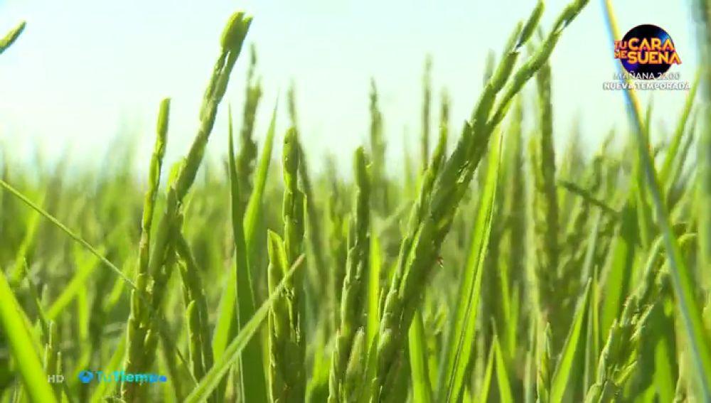 El arroz está a punto de ser cosechado en Extremadura, la segunda región más productora de España