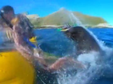 Un piragüista es abofeteado por una foca con un pulpo atrapado en su boca