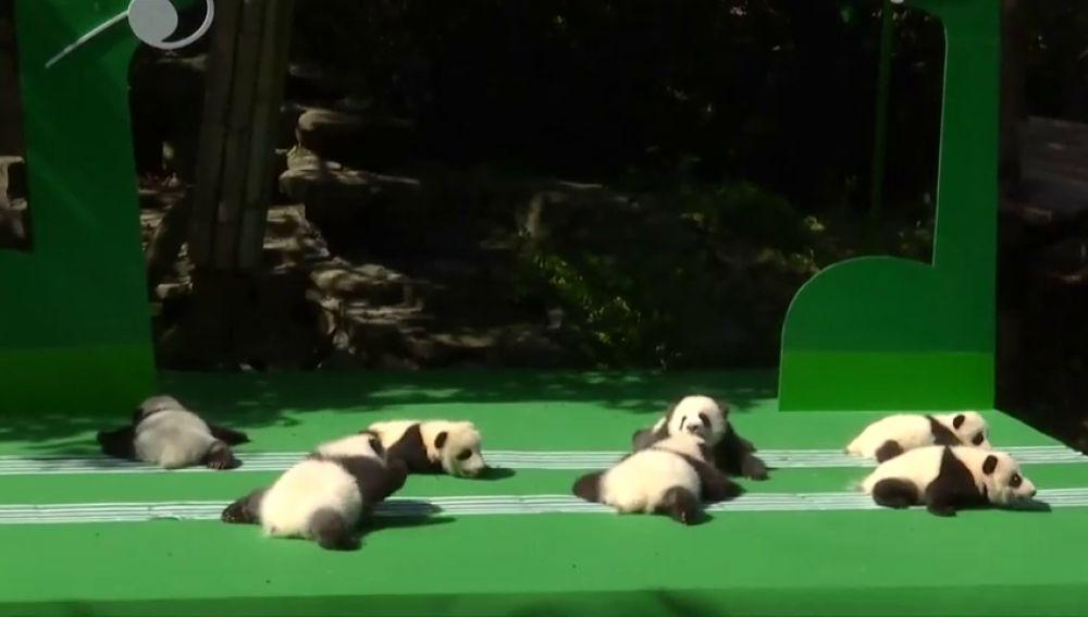 Doce crías de oso panda viven su primer día frente al público