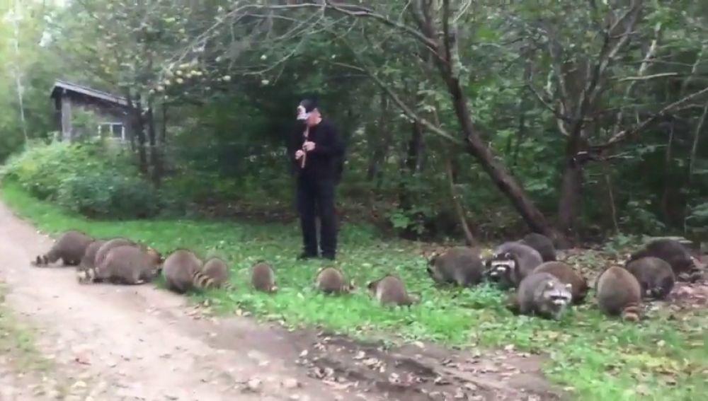 'Flautista de Amelín estadounidense', un hombre toca la flauta y atrae a los mapaches