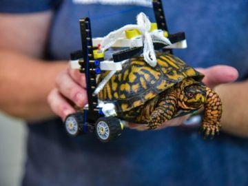 La tortuga con su silla de ruedas