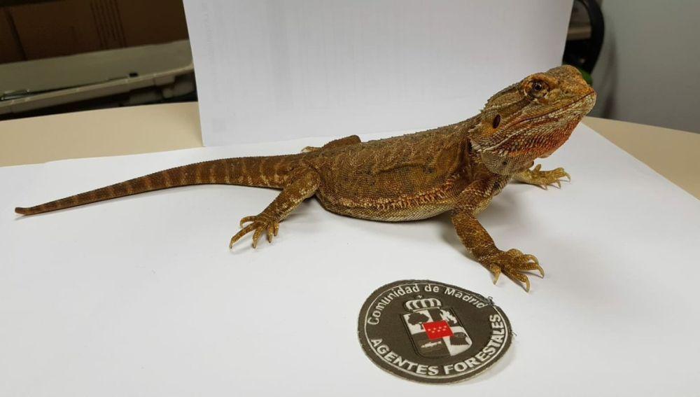 El dragón barbudo rescatado