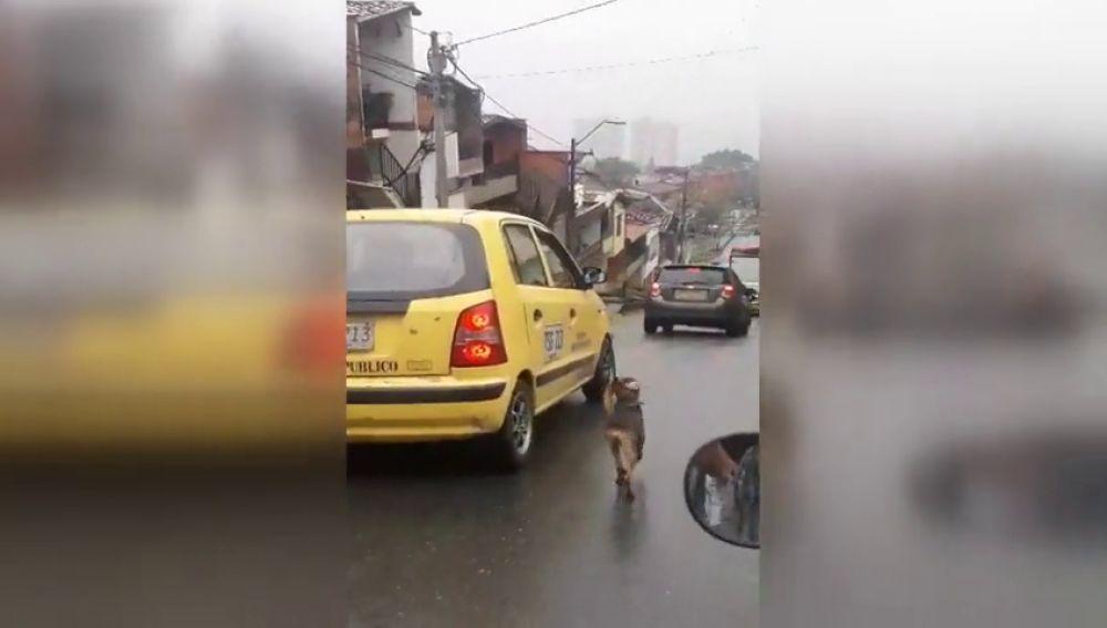 Un perro persigue desesperadamente el taxi en el que viaja su dueña justo después de que ella lo abandonara