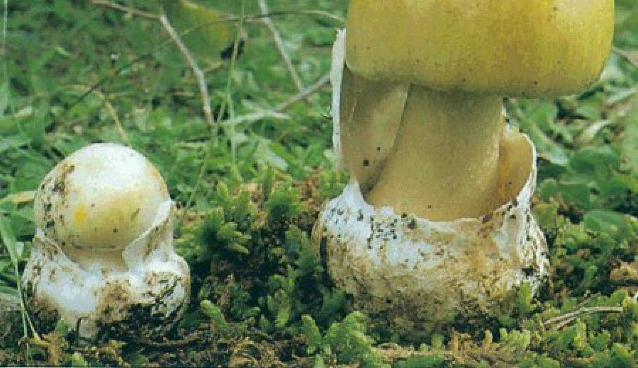 Amanita faloide. Un hombre fallece en Ourense tras comer setas venenosas