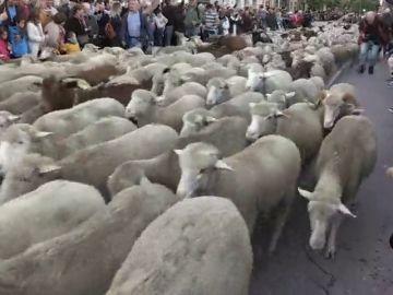 Más de 1.500 ovejas y 100 cabras recorren el centro de Madrid para celebrar la transhumancia