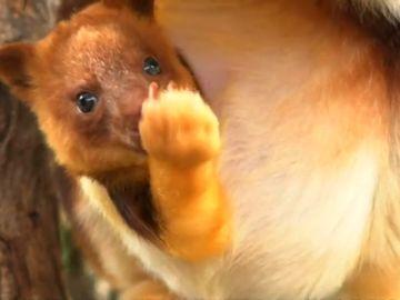 Una cría de canguro acapara todas las miradas de un zoo en Australia