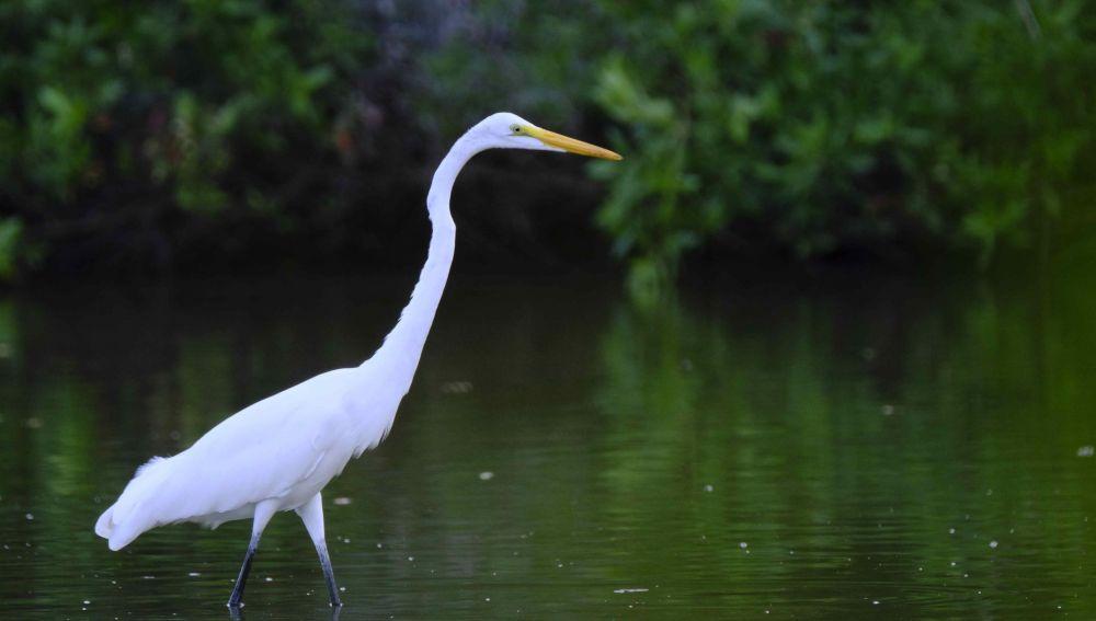 Una garza en las aguas de un manglar