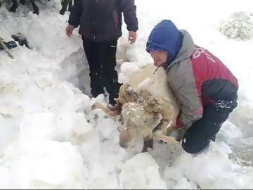 Decenas de ovejas quedan sepultadas bajo la nieve cuando huían de unos perros sueltos