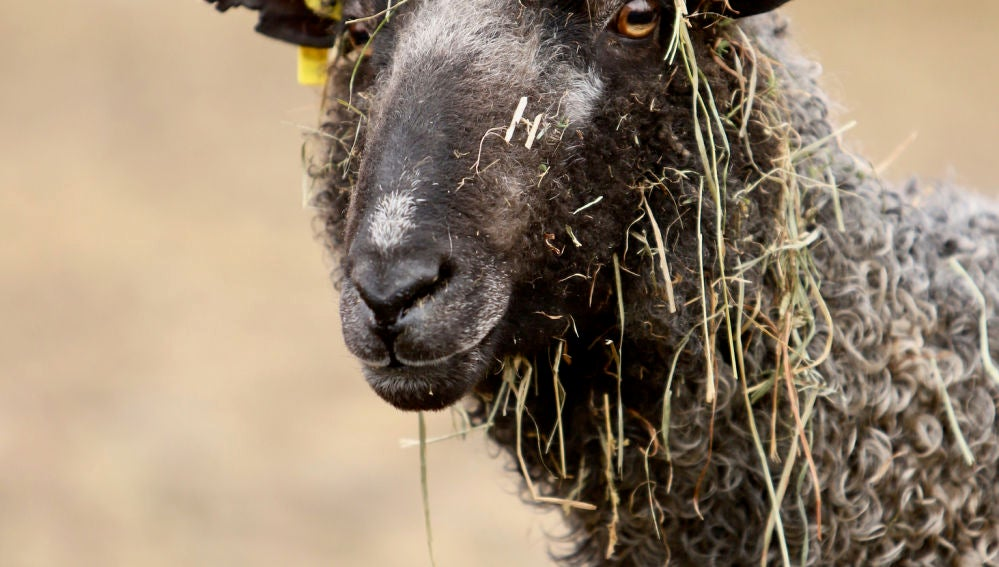 Hay una secreción de la piel de las ovejas que se usa en muchos alimentos.