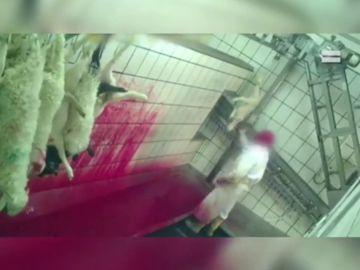Abren un expediente por maltrato animal a un matadero de Riaza (Segovia)