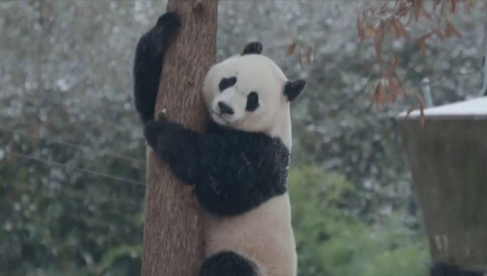 El panda gigante del zoológico de Washington disfruta de la primera nevada