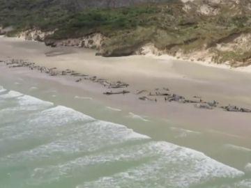 Encuentran 145 ballenas muertas en Nueva Zelanda