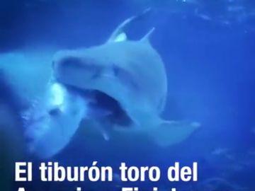 Gastón, el tiburón toro del Acuario de Finisterre, ataca y devora un pargo de 9 kilos