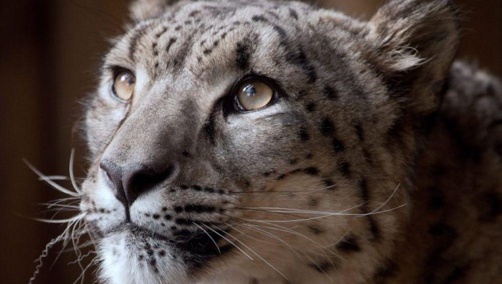 Imagen del leopardo Margaash difundida por el zoo de Dudley.
